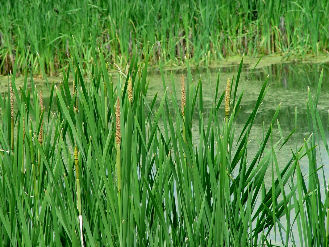 Typha latifolia broadleaf cattail for Broadleaf